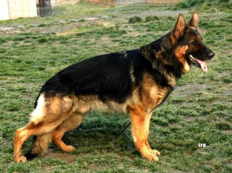世界上最大的狼青犬