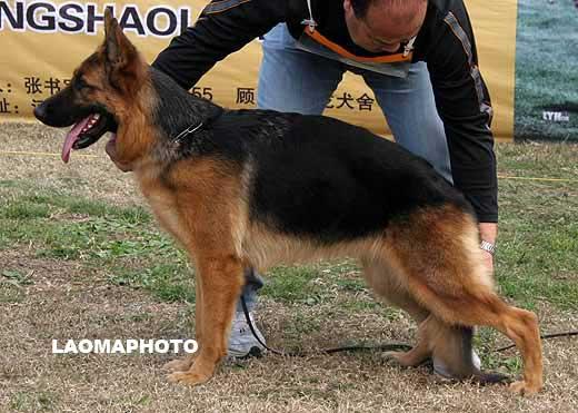 德国牧羊犬俱乐部?2008年CSV德国牧羊犬四川